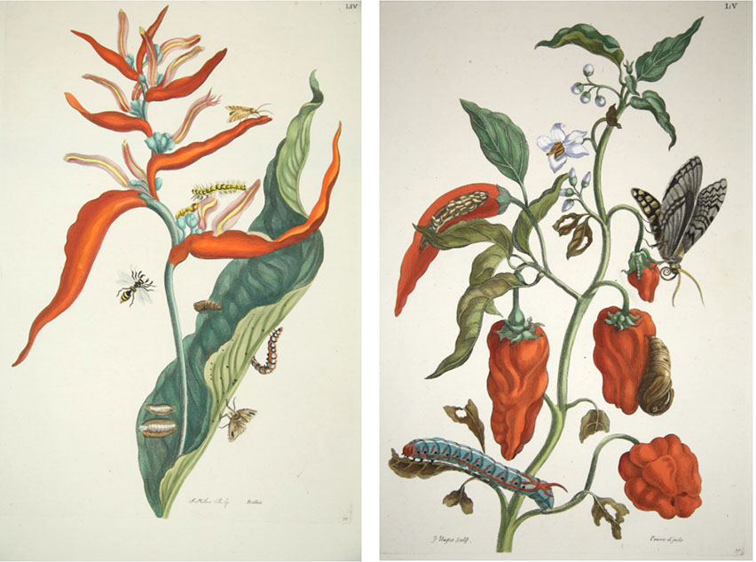 Left: the red Heliconia flower where cadmium red was suspected. Plate 54 of Metamorphosis insectorum surinamensium.  Right: the cherry pepper with the white flower where titanium white was suspected. Plate 55 of Metamorphosis insectorum surinamensium.